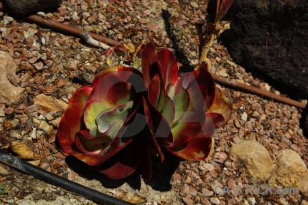 Red brown bush plant.