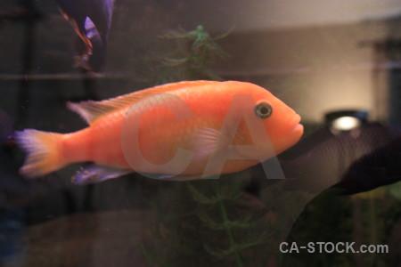 Red fish orange animal.