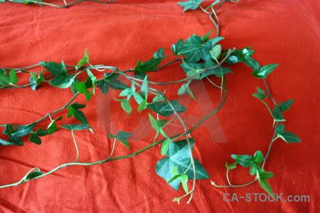Red green plant ivy leaf.