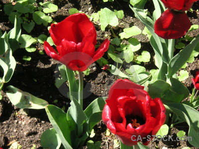 Red plant flower tulip green.