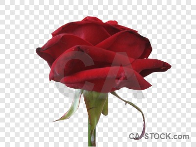 Red rose cut out flower transparent.