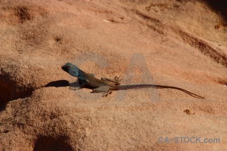 Reptile animal asia lizard petra.