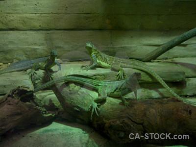 Reptile animal lizard green.