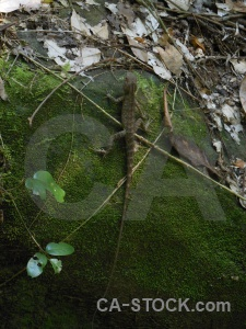 Reptile asia trek lizard kbal spien.