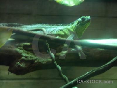 Reptile green lizard animal.