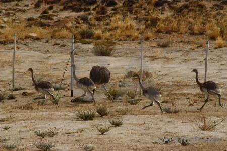 Rhea emu south america animal patagonia.
