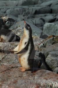 Rock animal antarctic peninsula penguin chick.