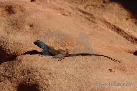 Rock asia tail petra lizard.
