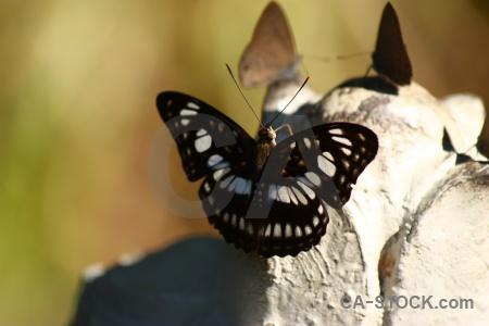 Rock butterfly kbal spien southeast asia siem reap.