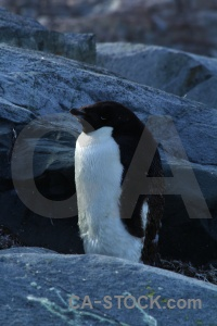 Rock chick antarctica petermann island adelie.