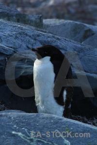 Rock chick antarctica petermann island adelie.