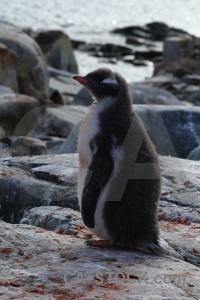 Rock day 8 animal antarctic peninsula penguin.