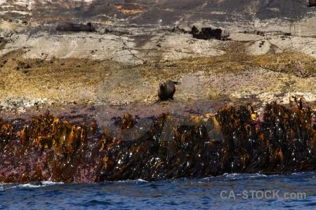 Rock fiordland south island seal seaweed.