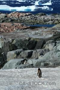 Rock gentoo south pole water wilhelm archipelago.