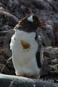 Rock penguin south pole antarctic peninsula animal.