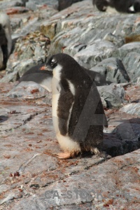 Rock petermann island chick antarctic peninsula penguin.