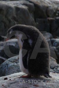 Rock petermann island wilhelm archipelago penguin south pole.
