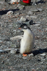 Rock south pole animal antarctic peninsula petermann island.