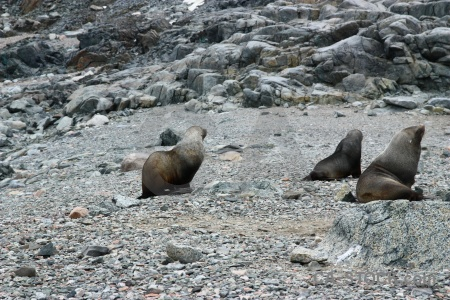 Rock south pole fur seal antarctic peninsula antarctica cruise.