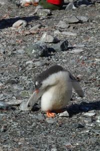 Rock wilhelm archipelago antarctica cruise day 8 chick.