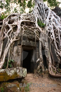 Root siem reap buddhist tomb raider temple.