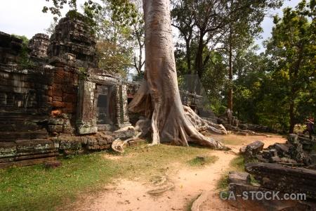 Root temple lichen buddhist banteay kdei.