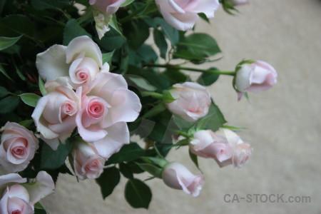 Rose green plant gray flower.