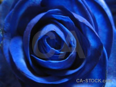 Rose plant blue flower.