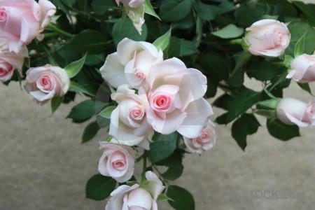 Rose plant flower green.