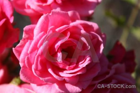 Rose plant flower pink red.