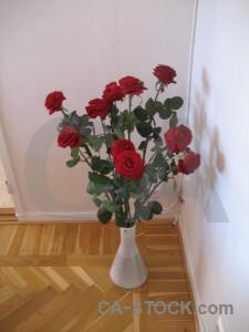 Rose plant red flower pink.