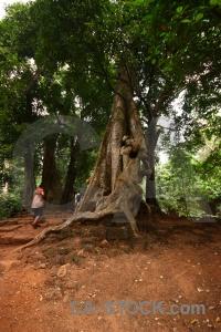 Ruin banyan tree angkor thom single block.