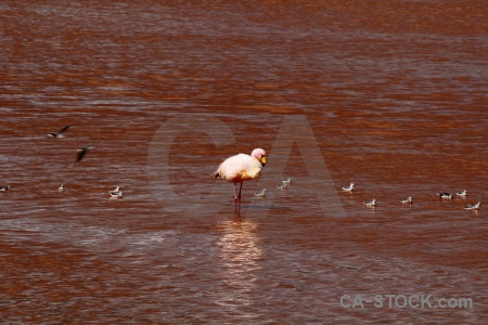 Salt lake sandpiper altitude bolivia laguna colorada.