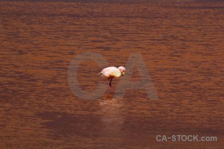Salt lake south america andes bolivia bird.