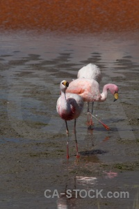 Salt lake south america animal andes flamingo.