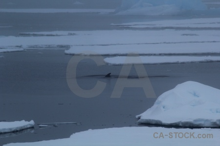 Sea ice antarctica adelaide island south pole whale.