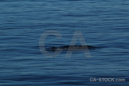Sea water orca antarctic peninsula whale.