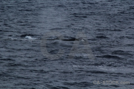 Sea whale antarctica cruise drake passage water.
