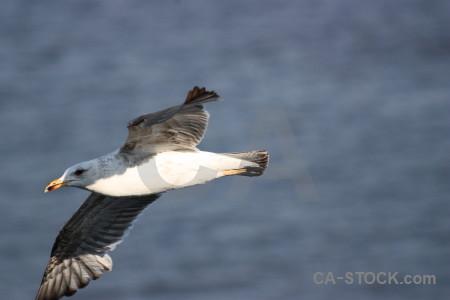 Seagull bird animal flying.
