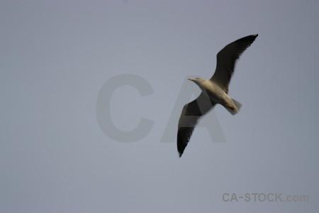 Seagull bird sky flying animal.