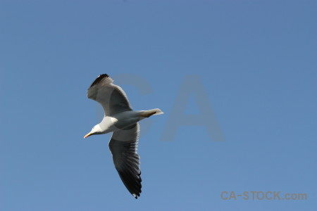 Seagull flying animal bird sky.
