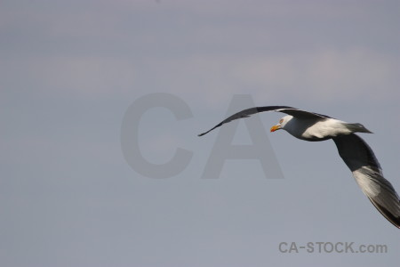 Seagull flying animal sky bird.