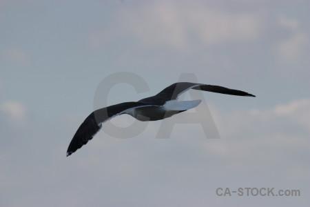 Seagull flying sky bird animal.