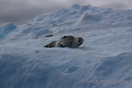 Seal antarctic peninsula animal wilhelm archipelago iceberg.