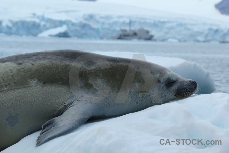 Seal antarctic peninsula bellingshausen sea antarctica animal.