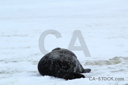 Seal antarctica cruise snow antarctic peninsula bellingshausen sea.