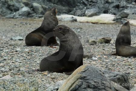 Seal day 6 antarctica cruise rock south pole.
