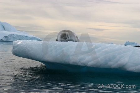 Seal sea water crabeater south pole.