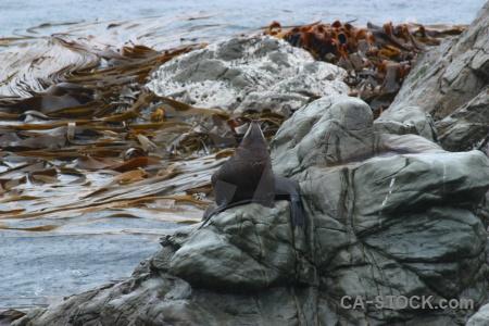 Seal seaweed south island rock new zealand.