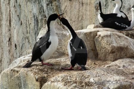 Shag animal rock antarctica cruise antarctic.